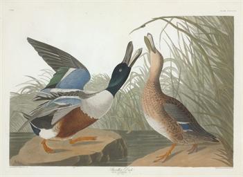 Shoveller Duck (Plate CCCXXVII