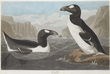Great Auk (Plate CCCXLI) Alca