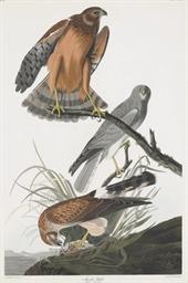 Marsh Hawk (Plate CCCLVI) Falc