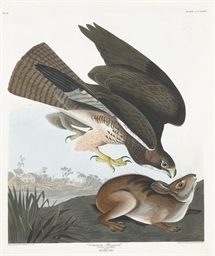 Common Buzzard (Plate CCCLXXII