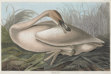 Trumpeter Swan (Plate CCCLXXVI