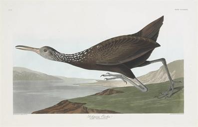 Scolopaceus Courlan (Plate CCC