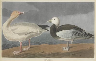 Snow Goose (Plate CCCLXXXI) An