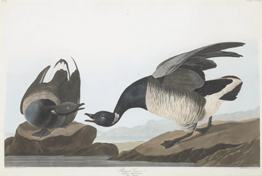 Brant Goose (Plate CCCXCI) Ans