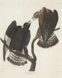 Rough-legged Falcon (Plate CCC