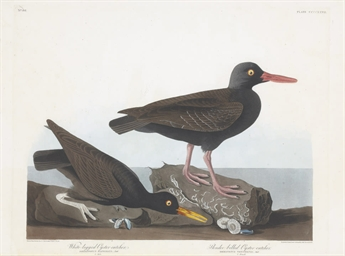 White-legged Oyster-catcher. S