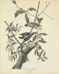 Downy Woodpecker (Plate CXII)