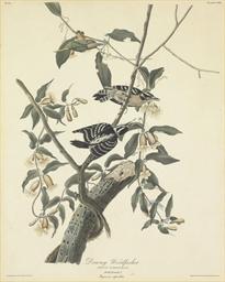 Downy Woodpecker (Plate CXII)