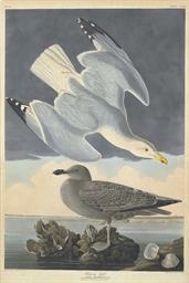 Herring Gull (Plate CCXCI) Lar