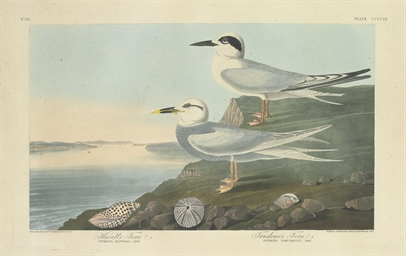 Havell's Tern. Trudeau's Tern