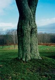 Shaker Tree, 1995