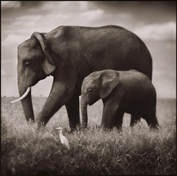 Elephant Mother and Baby Walki