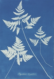 Polypodium Dryopteris, 1850-18