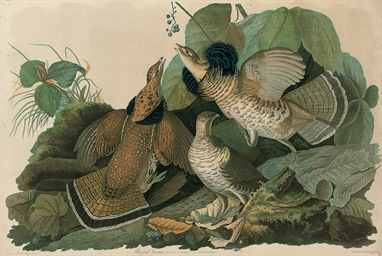 Ruffed Grouse (Tetrao Umbellus
