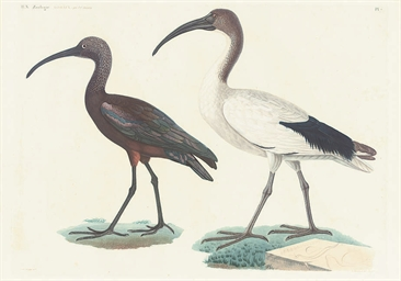 Studies of Birds, from Descrip