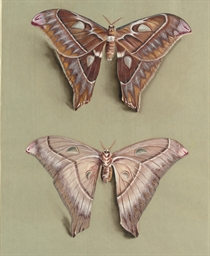 The Great Atlas moth: A female
