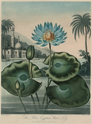 The Blue Egyptian Water Lily;