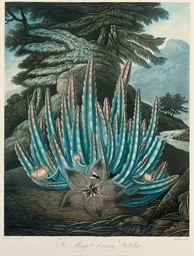 The Maggot-bearing Stapelia; T
