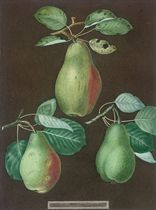 Black Jamaica; Brown Havannah; The Red Frontiniac; Trandescent Cherries; Hazelnuts; Green Flesh Melon; Chaumontelle Pear, Windsor Pear, Summer Bon Chretien, from 'Pomona Britannica'