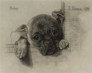 A study of 'Sukey', a pug pupp