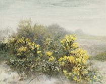 Gorse in flower on the Isle of Wight