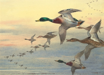 Mallard in flight over the coa