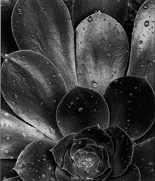 Succulent, 1968