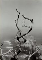 Twisted Tree, Lobos State Park, California, 1950