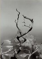 Twisted Tree, Lobos State Park, California, 1950