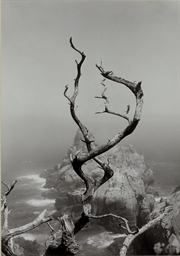 Twisted Tree, Lobos State Park