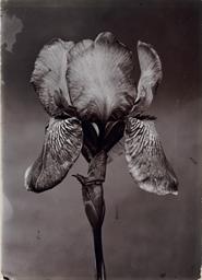 Iris, c. 1900