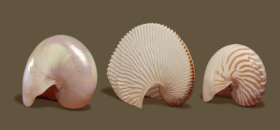 A GROUP OF THREE SHELLS