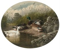 DUCKS ON A RIVER BANK