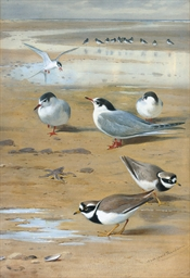 Ringed Plovers and Terns