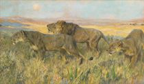 Lions at sunset