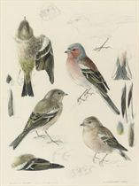 Studies of chaffinches