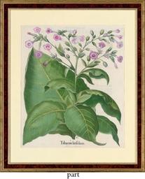 Tabacum latifolium; Ricinus ma