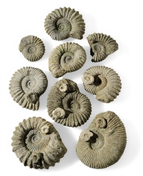 A GROUP OF NINE AMMONITES