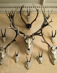 A COLLECTION OF SIX DEER ANTLE