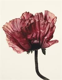 Lavender Glory Poppy (New York