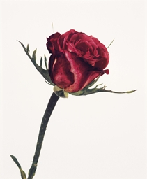 Rose, Colour Wonder (London),