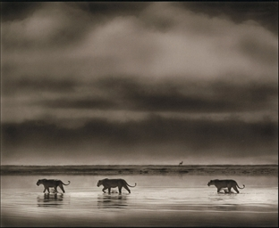 Lionesses Crossing Lake, Ngoro