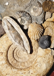 A COLLECTION OF VARIOUS FOSSIL
