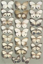 Nymphalid butterflies: Twenty-