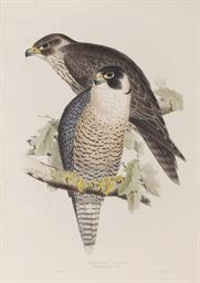Peregrine Falcon; Booted Eagle