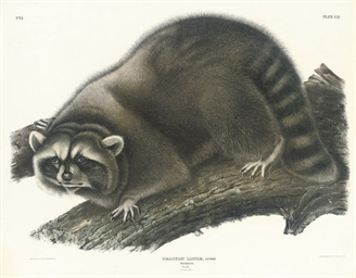 Male Raccoon; Virginian Opossu
