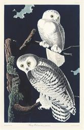 Snowy Owl - Nyctea scandiaca (