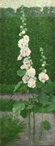 A White Holly Hock