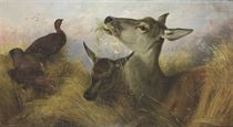 Deer and Grouse feeding in a field of barley