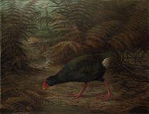 A moho takahe (Notornis mantelli)